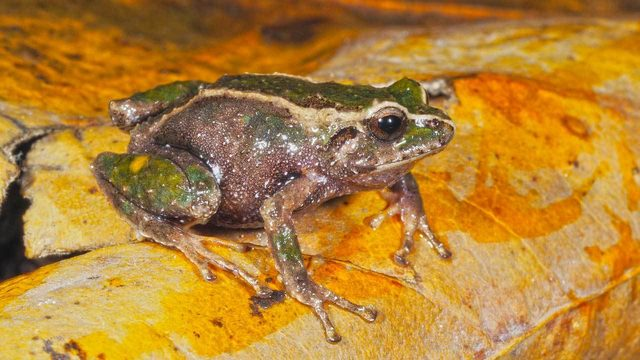 Ribbeting discovery: UCF researchers find new frog species