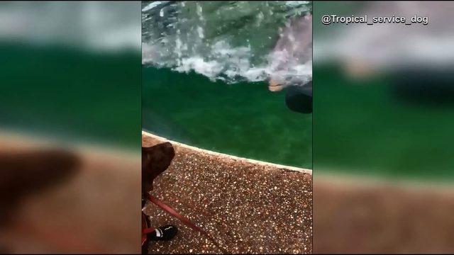 Dolphin adorably greets service dog at SeaWorld Orlando