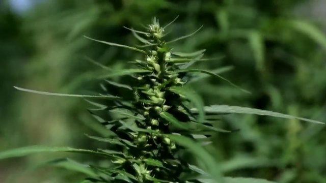 State prosecutors pause prosecuting misdemeanor marijuana cases