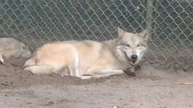 Wolf-dog jumps over 10-foot fence, escapes Florida sanctuary