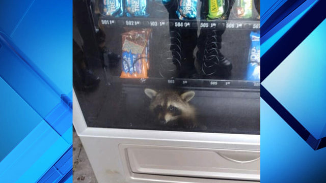 Volusia deputies spot raccoon trapped in vending machine