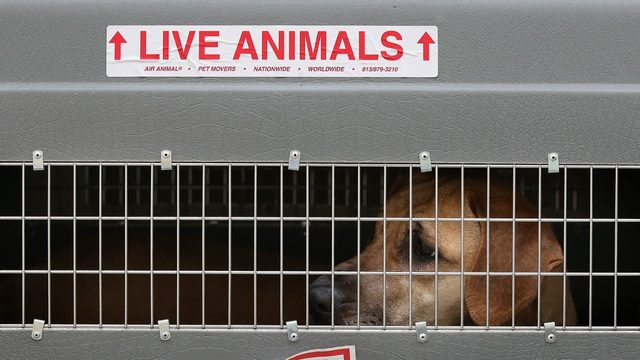 28 horribly neglected dogs found stuffed in vehicle on way to dog meat festival