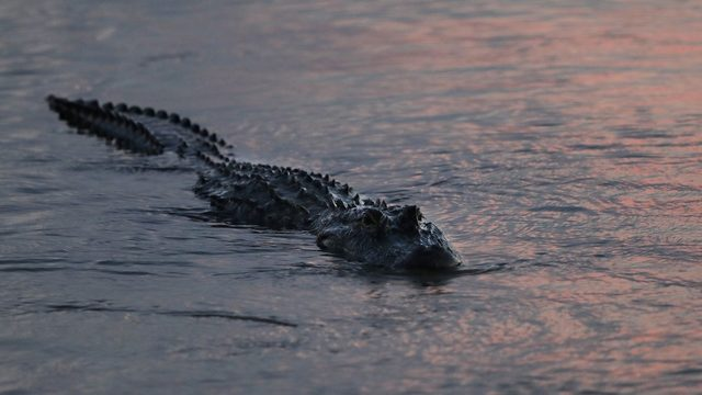 11-foot gator tried to pull hunter from boat in Brevard County