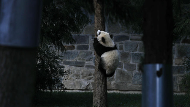 Bei Bei the giant panda turns 4, prepares for move to China