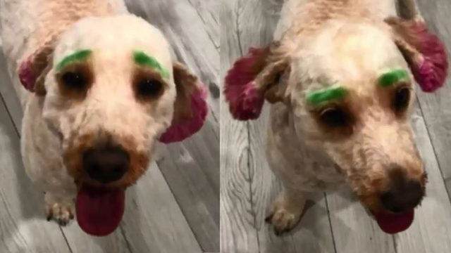 Florida woman upset after groomer dyes dog neon green, pink without permission