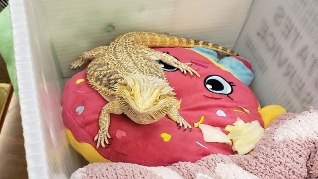 Student takes bearded dragon to school so it wouldn't be sad at home