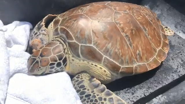 Rehabbed turtle being flown from Florida to Virgin Islands for release