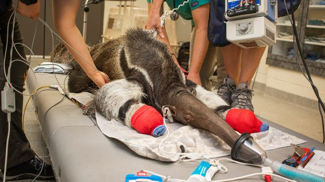 Boo the giant anteater gets wellness exam at Brevard Zoo