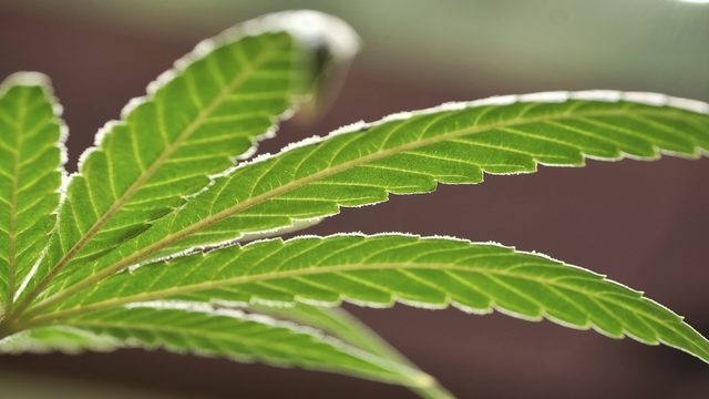 Medical marijuana now allowed in Brevard schools