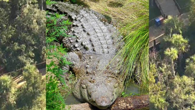 Crikey: Crocodile escapes habitat at Central Florida Zoo