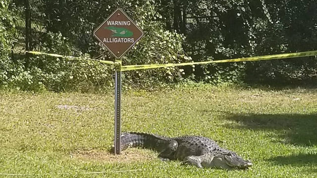 Here's your sign: Gator hangs out near alligator warning