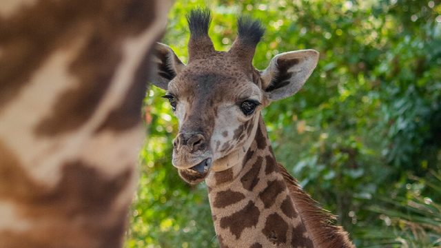 Giraffe at Brevard Zoo dies from parasitic infection