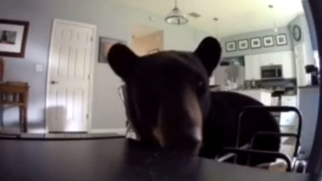 Bear mugs for camera after breaking into Apopka home