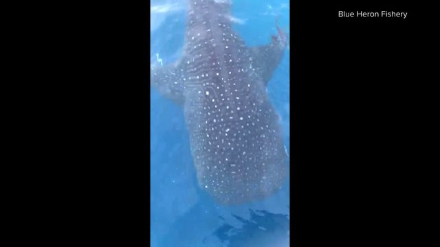 Whale shark spotted near Juno Beach pier