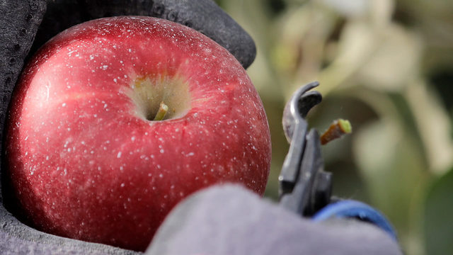 Move over, Honeycrisp: New apple coming to grocery stores near you