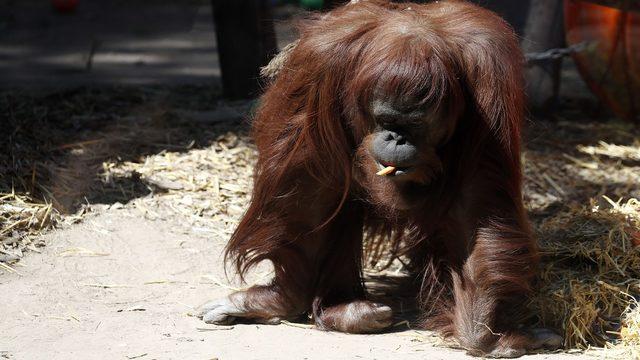 Orangutan granted human status settles into new home in Florida