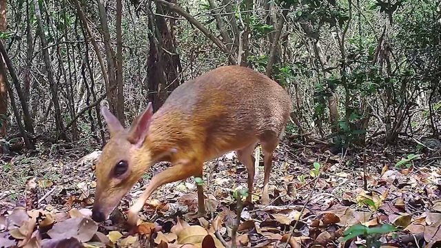 Rare deer-like species photographed for first time in wild in 30 years